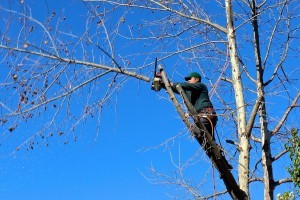 Raleigh tree trimming